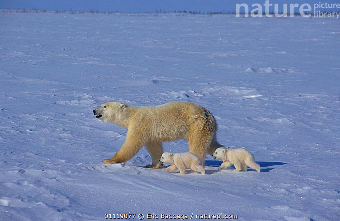 Polar bear leading two cubs across ice {Ursus maritimus} Canada  ,  MAMMALS,ARCTIC,CUTE,BABIES,FEMALES,BABY,TWINS,BEARS,BEHAVIOUR,CUB,MOTHER,NORTH AMERICA,FAMILIES,CARNIVORES,SNOW  ,  Eric Baccega