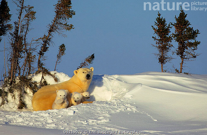Polar bear with three cubs in snow bed {Ursus maritimus} Canada  ,  BABY,RESTING,CUTE,FEMALES,BABIES,CARNIVORES,FAMILIES,MAMMALS,BEARS,NORTH AMERICA,MOTHER,CUB,ARCTIC  ,  Eric Baccega