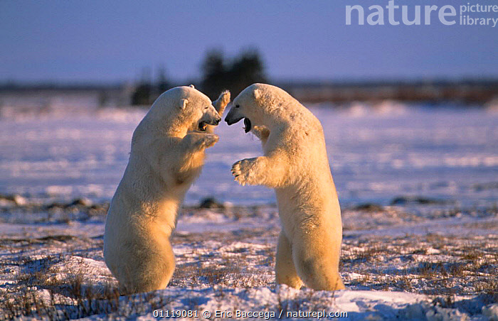 Polar bears play fighting {Ursus maritimus} Canada  ,  TWO,NORTH AMERICA,CARNIVORES,BABY,SNOW,ARCTIC,MAMMALS,BABIES  ,  Eric Baccega