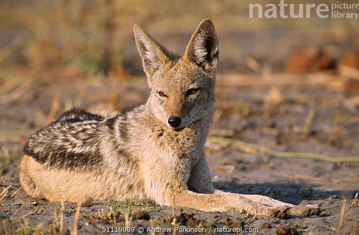 Black backed jackal resting in the sun {Canis mesomelas} Moremi GR, Botswana  ,  AFRICA,CARNIVORES,DOGS,MAMMALS,RESERVE,SOUTHERN AFRICA,Canids  ,  Andrew Parkinson
