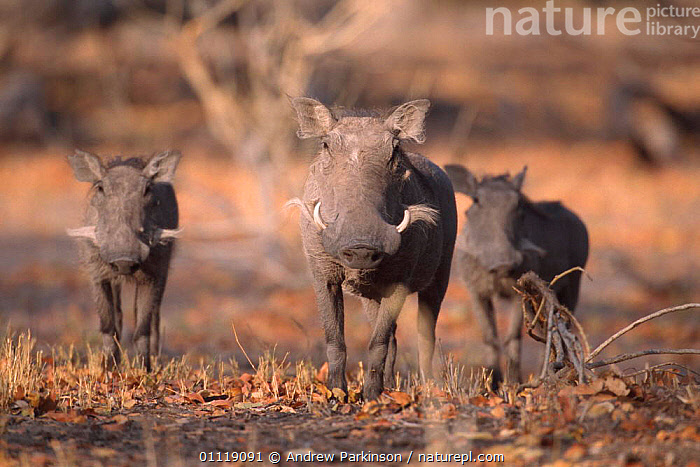 Warthog family {Phacochoerus aethiopicus} mopane woodland, Moremi, Botswana  ,  BABY,MOTHER,RESERVE,SOUTHERN AFRICA,AFRICA,ARTIODACTYLA,FAMILIES,MAMMALS,PIGS,WOODLANDS  ,  Andrew Parkinson