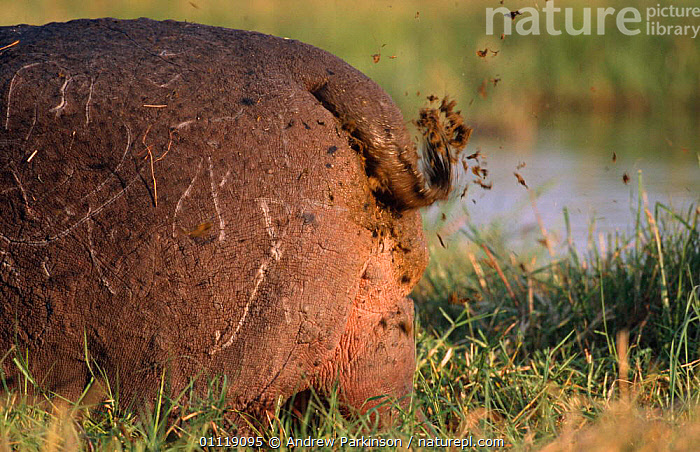Hippo male scattering dung to express dominance, Moremi GR {Hippopotamus amphibius} Botswan  ,  AFRICA,ARTIODACTYLA,BOTSWANA,DISPLAY,HIPPOPOTAMUSES,SOUTHERN AFRICA,TERRITORIAL,AGGRESSION,BEHAVIOUR,EXCRETION,FAECES,HIPPOTAMUS,HUMOROUS,MAMMALS,RESERVE,TAILS,THREAT,WETLANDS,Concepts,Communication  ,  Andrew Parkinson