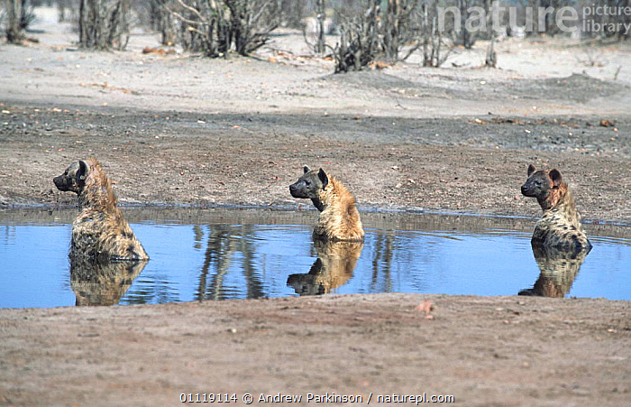 Three Spotted hyaenas cooling off in waterhole {Crocuta crocuta} Savuti Chobe NP,  ,  HUMOROUS,REFLECTIONS,BEHAVIOUR,AFRICA,MAMMALS,RESERVE,GROUPS,THERMOREGULATION,BOTSWANA,CARNIVORES,SOUTHERN AFRICA,Concepts  ,  Andrew Parkinson