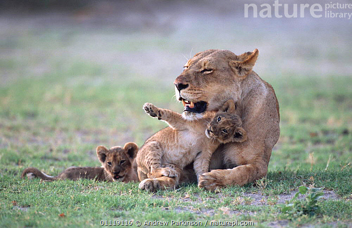 African lioness with two cubs seeking attention {Panthera leo} Chobe NP, Botswana  ,  BABY,BIG CATS,FEMALES,BIG CATS,RESERVE,MAMMALS,BEHAVIOUR,CARNIVORES,MOTHER,AFRICA,BABIES,FAMILIES,LIONS,SOUTHERN AFRICA  ,  Andrew Parkinson