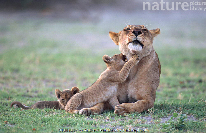 African lioness with two cubs seeking attention {Panthera leo} Chobe NP, Botswana  ,  FEMALES,AFRICA,RESERVE,BABIES,BEHAVIOUR,BIG CATS,LIONS,BABY,CARNIVORES,MAMMALS,FAMILIES,MOTHER,SOUTHERN AFRICA  ,  Andrew Parkinson