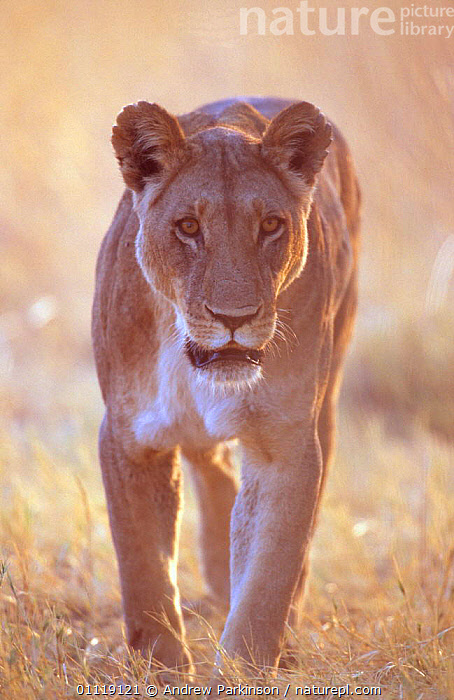 African lioness {Panthera leo} Moremi GR, Botswana  ,  VERTICAL,FEMALES,RESERVE,CARNIVORES,PORTRAITS,MAMMALS,AFRICA,FEMALE,SOUTHERN AFRICA,Lions,Big Cats  ,  Andrew Parkinson