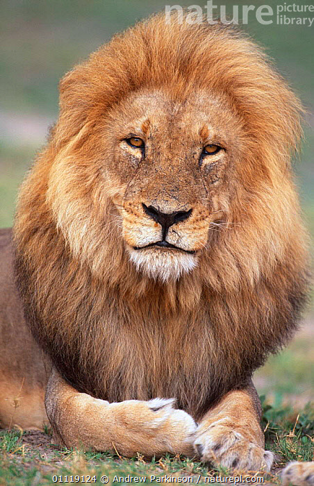 Male African lion in his prime, portrait {Panthera leo} Chobe NP, Botswana  ,  AFRICA,MANE,MALES,LIONS,PORTRAITS,CARNIVORES,MAGNIFICENT,MOREMI,MAMMALS,RESERVE,SOUTHERN AFRICA,Big Cats  ,  Andrew Parkinson