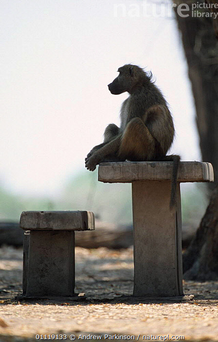 Chacma baboon dominant male at campsite {Papio ursinus} Moremi GR, Botswana  ,  MAMMALS,CAMP,SITTING,BABOONS,AFRICA,MALES,PRIMATES,RESERVE,SOUTHERN AFRICA,TABLES,Monkeys  ,  Andrew Parkinson
