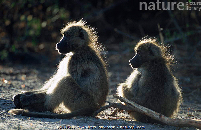 Two Chacma baboons warming in dawn sunlight {Papio ursinus} Chobe NP, Botswana  ,  MAMMALS,AFRICA,RESERVE,SITTING,PRIMATES,SOUTHERN AFRICA,THERMOREGULATION,Monkeys  ,  Andrew Parkinson