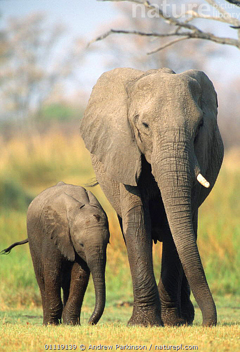 African elephant female + calf Moremi GR, Botswana {Loxodonta africana}