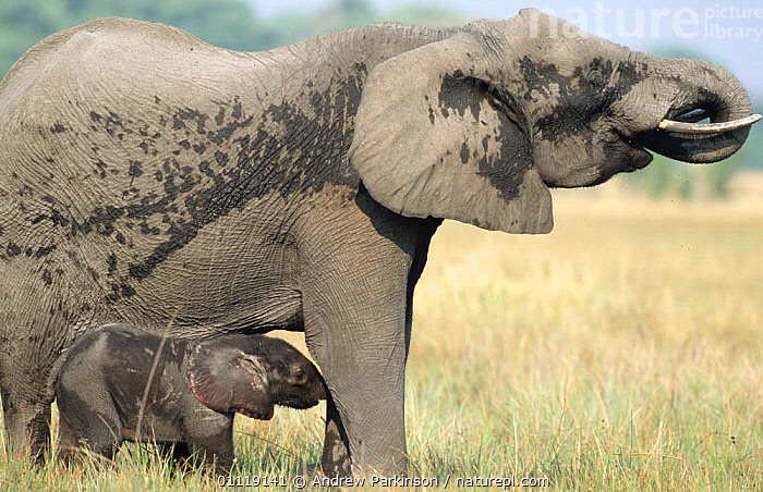 African elephant female + calf Moremi GR, Botswana {Loxodonta africana}  ,  MAMMALS,PROBOSCIDS,FAMILIES,ELEPHANTS,SOUTHERN AFRICA,AFRICA,PROFILE,BABY,MOTHER,FEMALES,RESERVE  ,  Andrew Parkinson