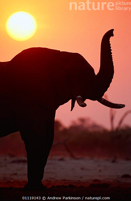 Silhouette of African elephant sniffing the air {Loxodonta africana} Chobe NP, Botswana  ,  PROBOSCIDS,SOUTHERN AFRICA,ELEPHANTS,SILHOUETTTES,SUNSET,MAMMALS,AFRICA,MOREMI,BEHAVIOUR,RESERVE  ,  Andrew Parkinson