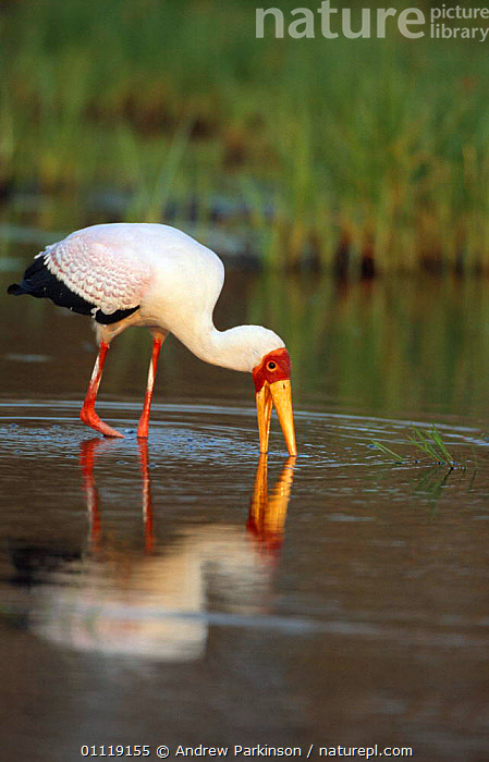 Yellow billed stork fishing in waterhole {Mycteria ibis} Moremi GR, Botswana  ,  FEEDING,STORKS,AFRICA,BIRDS,SOUTHERN AFRICA,RESERVE,WADING BIRDS,WETLANDS  ,  Andrew Parkinson