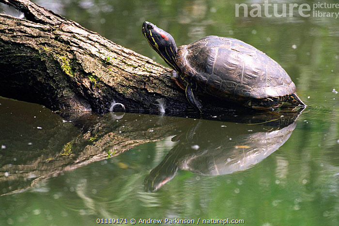 Red eared turtle / slider terrapin {Pseudemys scripta elegans} colonises reservoirs UK  ,  COLONISATION,ENGLAND,EUROPE,INTRODUCTION,LAKES,REPTILES,RESERVOIR,TURTLES,Chelonia, Turtles  ,  Andrew Parkinson