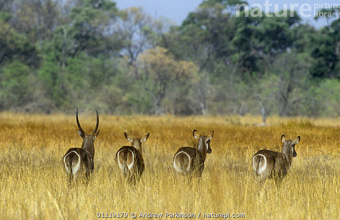 Waterbuck {Kobus ellipsiprymnus} rear view of male and three females crossing wetlands, Moremi WR, Botswana  ,  ANTELOPES,ARTIODACTYLA,BOTTOMS,BOVIDS,FOUR,GROUPS,MAMMALS,RESERVE,SOUTHERN AFRICA,TAILS,VERTEBRATES,WATERBUCKS  ,  Andrew Parkinson
