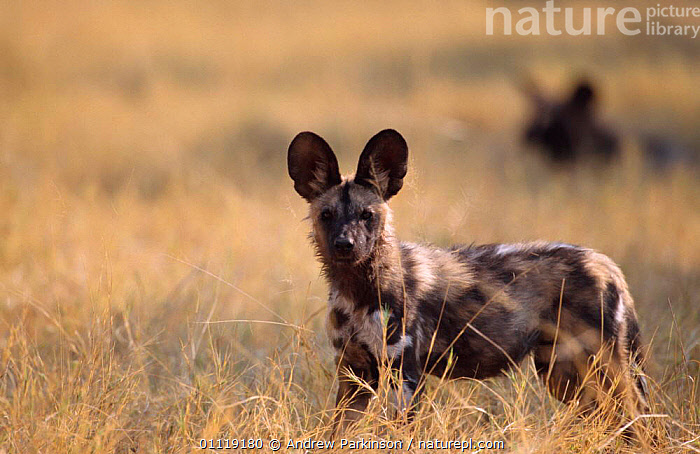 African wild dog portrait {Lycaon pictus} Moremi GR, Botswana  ,  AFRICA,CARNIVORES,DOGS,EARS,MAMMALS,PORTRAITS,ENDANGERED,RESERVE,SOUTHERN AFRICA,Canids  ,  Andrew Parkinson