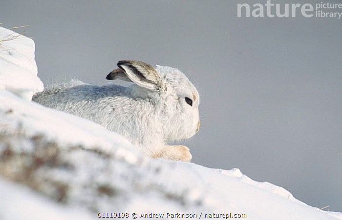 Mountain hare in winter coat grooming in snow {Lepus timidus} Scotland, UK  ,  EUROPE,CAMOUFLAGE,HARES,LAGOMORPHS,MAMMALS,WHITE  ,  Andrew Parkinson
