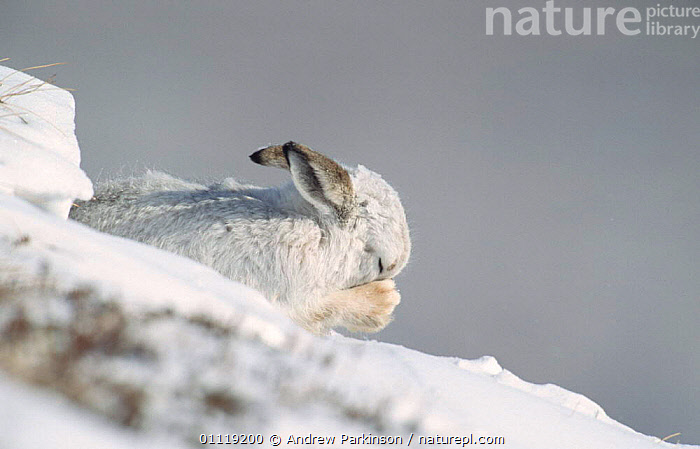 Mountain hare in winter coat grooming in snow {Lepus timidus} Scotland, UK  ,  WHITE,HARES,LAGOMORPHS,MAMMALS,CAMOUFLAGE,EUROPE  ,  Andrew Parkinson