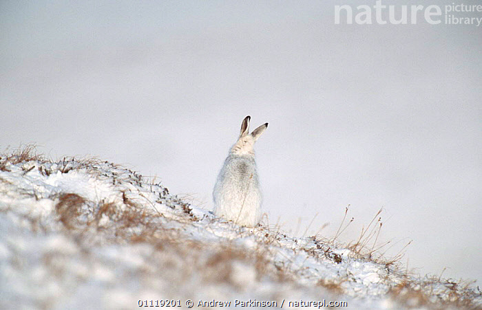 Rear view of Mountain hare in winter coat in snow sitting {Lepus timidus} Scotland, UK  ,  CAMOUFLAGE,EUROPE,WHITE,LAGOMORPHS,HARES,MAMMALS,UK,CRYPTIC,WINTER,United Kingdom,British  ,  Andrew Parkinson