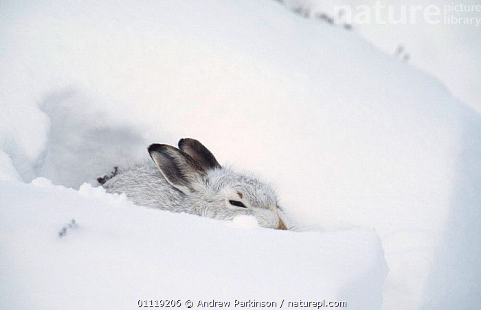 Mountain hare in winter coat rests in snow drift {Lepus timidus} Scotland, UK  ,  HUDDLES,LAGOMORPHS,RESTING,HARES,CAMOUFLAGE,HIDING,WHITE,EUROPE,BANK,MAMMALS  ,  Andrew Parkinson