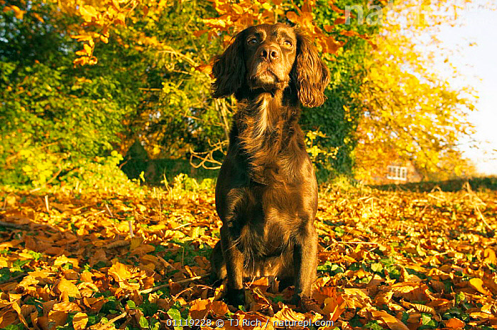 Working Springer spaniel on autumn leaves {Canis familiaris} Wilts, UK  ,  CARNIVORES,ENGLAND,MAMMALS,DOGS,EUROPE,Canids , PETS,United Kingdom  ,  TJ Rich