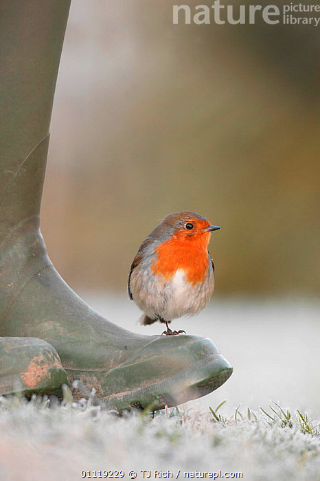 Robin perched on boot {Erithacus rubecula} UK  ,  EUROPE,FROST,PEOPLE,ENGLAND,BIRDS,GARDENS,Weather,GettyBOV  ,  TJ Rich