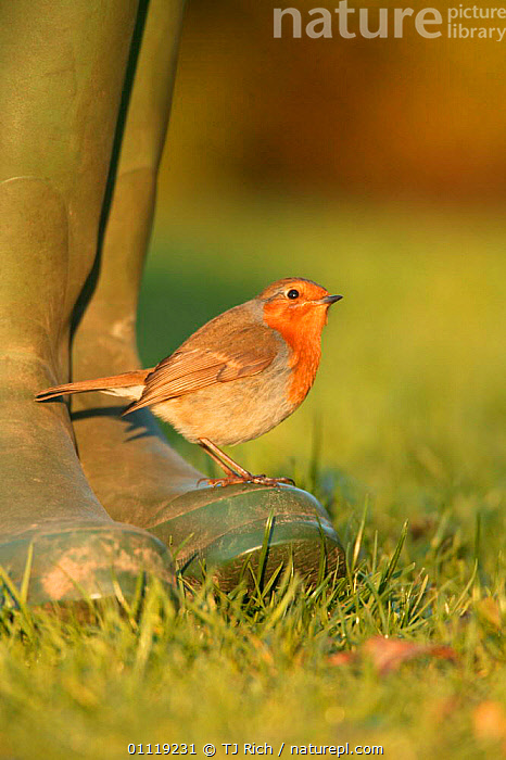 Robin perched on boot {Erithacus rubecula} UK  ,  PEOPLE,ENGLAND,EUROPE,BIRDS,GARDENS,FROST,Weather  ,  TJ Rich
