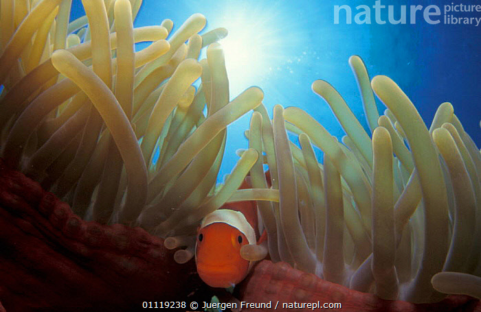False clown anemonefish {Amphiprion ocellaris} in anemone, Indo-Pacific  ,  FISH,ANEMONE,MARINE,TROPICAL,UNDERWATER,SYMBIOSIS,CLOWNFISH,MIXED SPECIES,Concepts,Partnership, Partnership  ,  Jurgen Freund