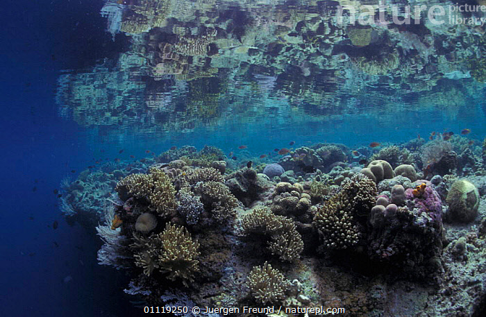 Coral reef with reflection at water surface, Indo-Pacific  ,  CORAL REEFS,TROPICAL,MARINE,REFLECTIONS,UNDERWATER,Anthozoans,Invertebrates, Cnidaria  ,  Jurgen Freund