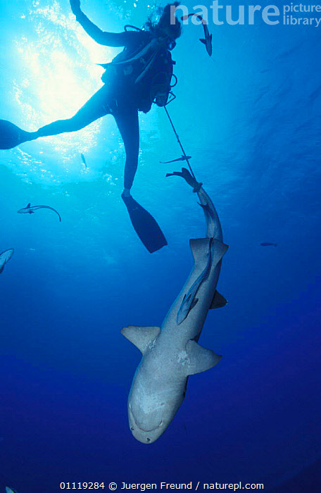 Researcher catches Whitetip reef shark for examination, Great Barrier Reef, Australia  ,  DIVING,UNDERWATER,PEOPLE,SHARKS,RESEARCH,TROPICAL,MARINE,FISH, Fish  ,  Jurgen Freund