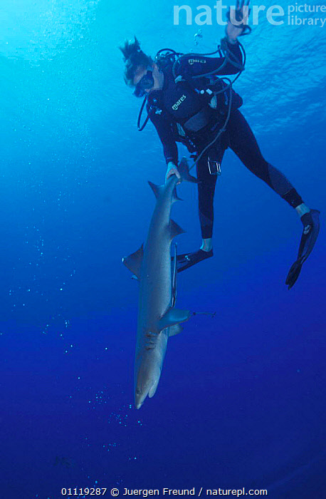 Researcher catches Whitetip reef shark for examination, Great Barrier Reef, Australia  ,  UNDERWATER,TROPICAL,MARINE,PEOPLE,RESEARCH,DIVING,SHARKS,FISH, Fish  ,  Jurgen Freund