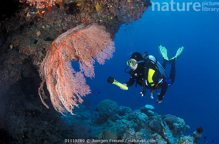 Diver at examines coral reef, Great Barrier Reef, Australia  ,  PEOPLE,TROPICAL,MARINE,CORAL REEFS,UNDERWATER  ,  Jurgen Freund