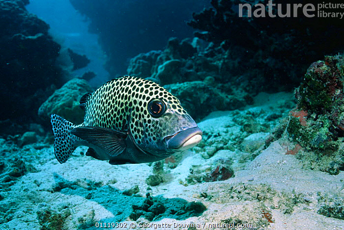 Many spotted sweetlips {Plectorhinchus chaetodonoides} Sipadan, Malaysia  ,  CORAL REEFS,FISH,INDO PACIFIC,MARINE,OSTEICHTHYES,SEA,SOUTH EAST ASIA,SPOTTED,SWEETLIPS,TROPICAL,UNDERWATER,VERTEBRATES,Asia  ,  Georgette Douwma