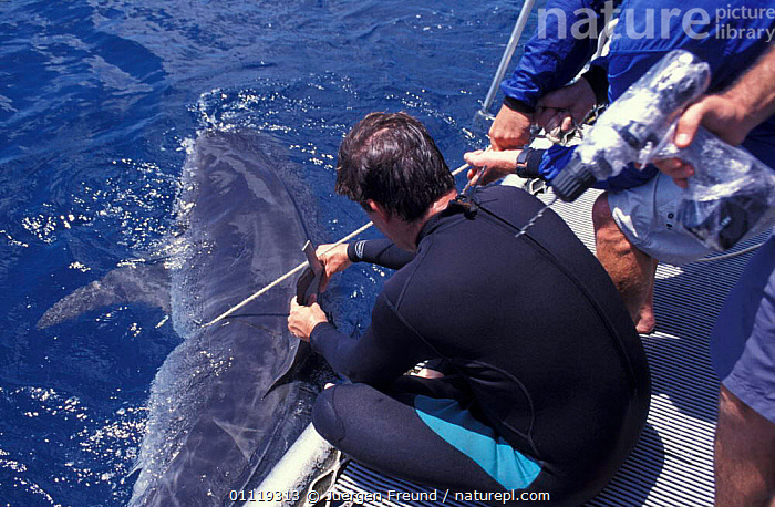 Attaching satellite transmitter to dorsal fin of tiger shark, Queensland  ,  RADIO,SHARKS,TROPICAL,FISH,AUSTRALIA,INDO PACIFIC,RESEARCH,MARINE,TAGGING,PEOPLE,BOATS, Fish  ,  Jurgen Freund