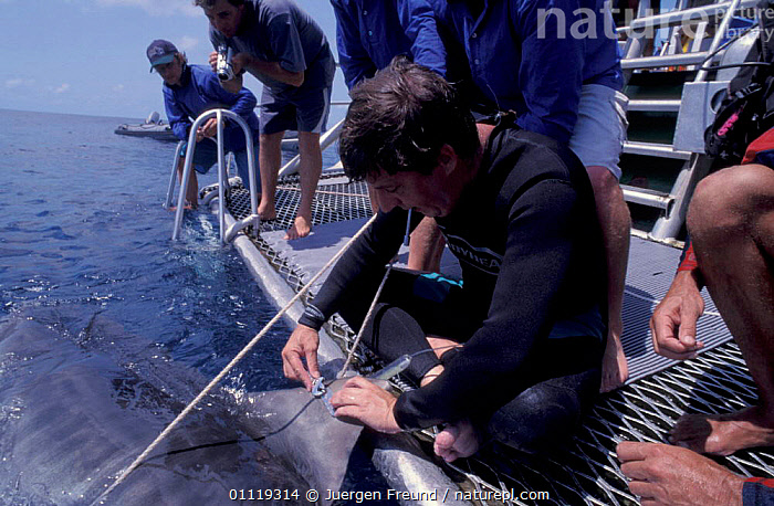 Attaching satellite transmitter to dorsal fin of tiger shark, Queensland  ,  INDO PACIFIC,TAGGING,RADIO,RESEARCH,PEOPLE,BOATS,MARINE,TROPICAL,AUSTRALIA,FISH,SHARKS, Fish  ,  Jurgen Freund
