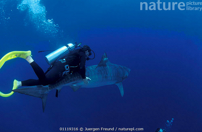 Researcher guides drousy Tiger shark down to the deep Queensland Australia {Galeocerdo  ,  MARINE,PEOPLE,TAGGING,TRANSMITTER,RADIO,INDO PACIFIC,FISH,RESEARCH,UNDERWATER,DIVING,SHARKS,SATELLITE,TROPICAL, Fish  ,  Jurgen Freund