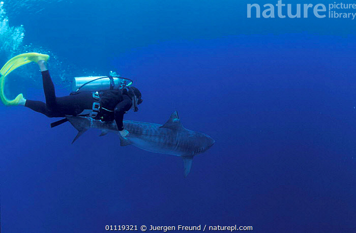 Researcher guides drousy Tiger shark down to the deep Queensland Australia {Galeocerdo  ,  SHARKS,PEOPLE,INDO PACIFIC,RESEARCH,MARINE,FISH,SATELLITE,TAGGING,TRANSMITTER,DIVING,RADIO,UNDERWATER,TROPICAL, Fish  ,  Jurgen Freund