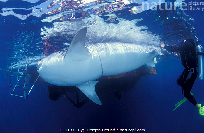 Attaching satellite transmitter to dorsal fin of tiger shark, Queensland  ,  RADIO,PEOPLE,TROPICAL,UNDERWATER,SHARKS,AUSTRALIA,BOATS,MARINE,TAGGING,FISH,INDO PACIFIC,RESEARCH, Fish  ,  Jurgen Freund