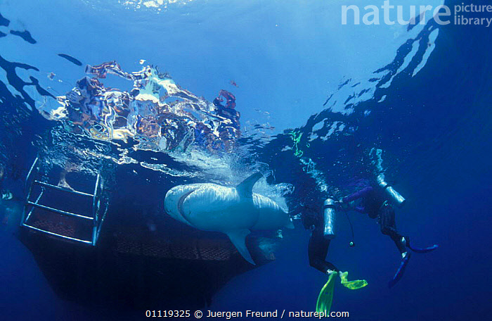 Attaching satellite transmitter to dorsal fin of tiger shark, Queensland  ,  UNDERWATER,RADIO,MARINE,SHARKS,INDO PACIFIC,PEOPLE,TAGGING,RESEARCH,FISH,BOATS,AUSTRALIA,TROPICAL, Fish  ,  Jurgen Freund