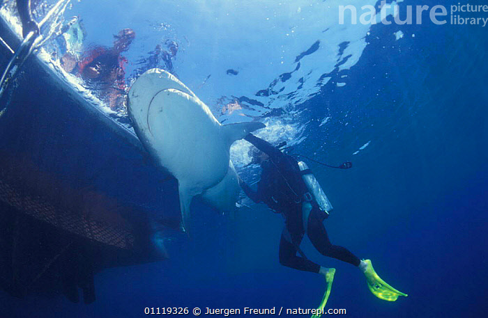 Attaching satellite transmitter to dorsal fin of tiger shark, Queensland  ,  MARINE,INDO PACIFIC,TAGGING,TROPICAL,UNDERWATER,FISH,RADIO,AUSTRALIA,BOATS,PEOPLE,SHARKS,RESEARCH, Fish  ,  Jurgen Freund