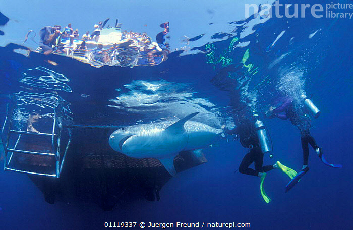 Attaching satellite transmitter to dorsal fin of tiger shark, Queensland  ,  MARINE,INDO PACIFIC,PEOPLE,UNDERWATER,BOATS,SHARKS,AUSTRALIA,RADIO,TAGGING,TROPICAL,FISH,RESEARCH, Fish  ,  Jurgen Freund