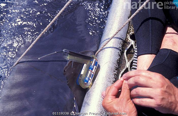 Attaching satellite transmitter to dorsal fin of tiger shark, Queensland  ,  BOATS,TROPICAL,AUSTRALIA,SHARKS,TAGGING,FISH,PEOPLE,RADIO,INDO PACIFIC,MARINE,RESEARCH,UNDERWATER, Fish  ,  Jurgen Freund