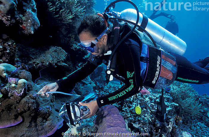 Researcher uses underwater fluorometer to measure health of coral polyps, Great Barrier  ,  ENABLES,MARINE,INDO PACIFIC,REEF,TROPICAL,UNIVERSITY,SCIENTISTS,AUSTRALIA,EQUIPMENT,CORAL REEFS,ANYA,SALIH,RESEARCH,PEOPLE,DIVING,SYDNEY,Anthozoans,Invertebrates, Cnidaria, Cnidaria, Cnidaria, Cnidaria  ,  Jurgen Freund