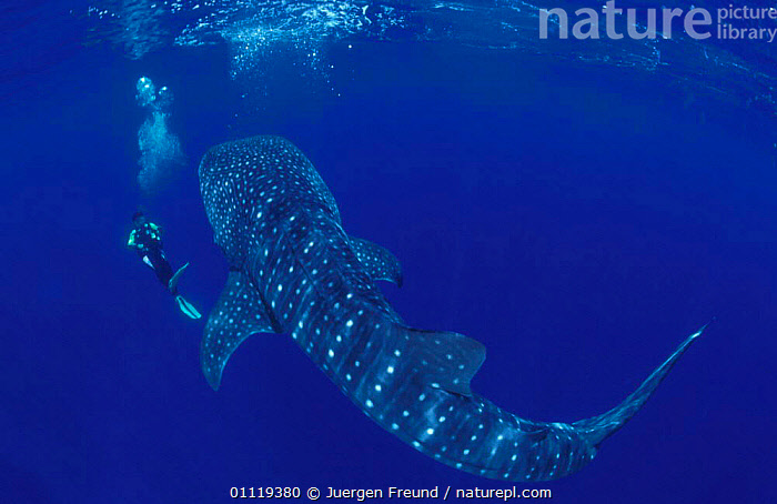 Whaleshark with diver {Rhincodon typus} Indo-Pacific  ,  FISH,UNDERWATER,SIZE,TROPICAL,SHARKS,PEOPLE,DIVING,LARGE,MARINE, Fish  ,  Jurgen Freund