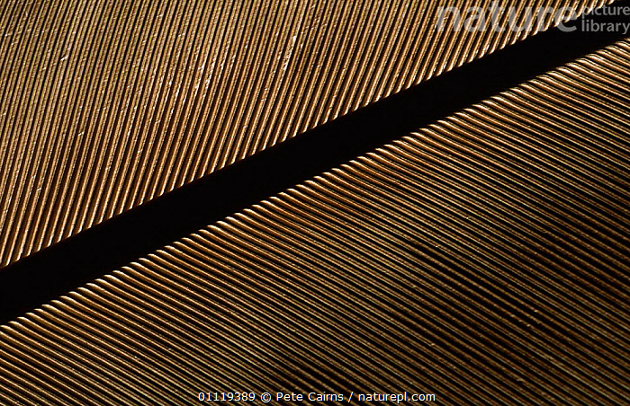 Close up of Golden eagle tail feather {Aquila chrysaetos}  ,  BIRDS,BIRDS OF PREY,CLOSE UPS,EAGLES,FEATHERS,Raptor  ,  Pete Cairns