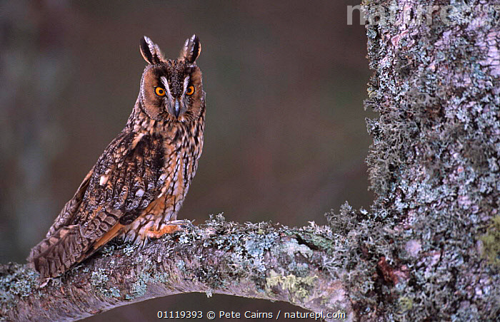 Long eared owl in tree {Asio otus} captive, Scotland.  ,  EUROPE,OWLS,UK,BIRDS,BIRDS OF PREY,CAIRNGORMS,PORTRAITS,SCOTLAND,United Kingdom,British,Raptor, United Kingdom  ,  Pete Cairns