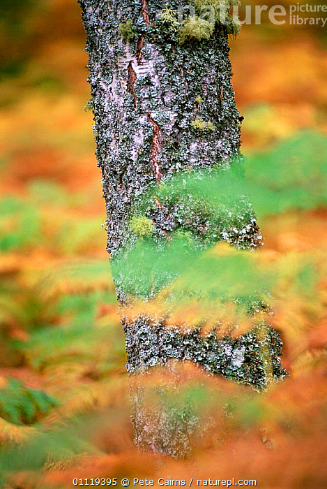Birch trunk + autumn bracken, Cairngorms NP. Scotland.  ,  BARK,EUROPE,NP,RESERVE,SCOTLAND,TRUNKS,UK,VERTICAL,United Kingdom,Plants,British,National Park, United Kingdom  ,  Pete Cairns