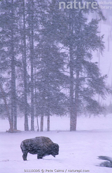 Bison {Bison bison} in snow blizzard. Yellowstone National Park, Wyoming, USA  ,  BAD WEATHER,BUFFALOS,COLD,NP,ARTIODACTYLA,BLIZZARD,MAMMALS,NORTH AMERICA,SNOWING,STORMS,VERTICAL,WEATHER,WINTER,RESERVE,USA,National Park,Cattle,Catalogue1  ,  Pete Cairns