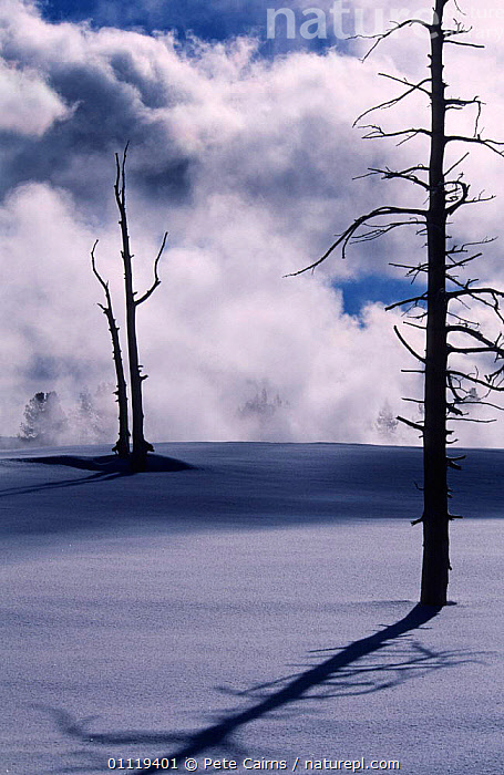 Dead tree, killed by geothermal activity, casting long shadow in snow, Yellowstone , USA.  ,  DEATH,LANDSCAPES,TREES,VERTICAL,WINTER,DAMAGE,INTERESTING,NORTH AMERICA,NP,SHADOWS,TRUNKS,Plants,National Park,USA  ,  Pete Cairns