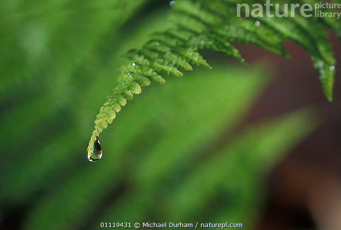 Water dropping off fern frond, USA  ,  LEAF,DROPS,ABSTRACTS,RAIN,DROPLET,LEAVES,Weather,North America  ,  Michael Durham